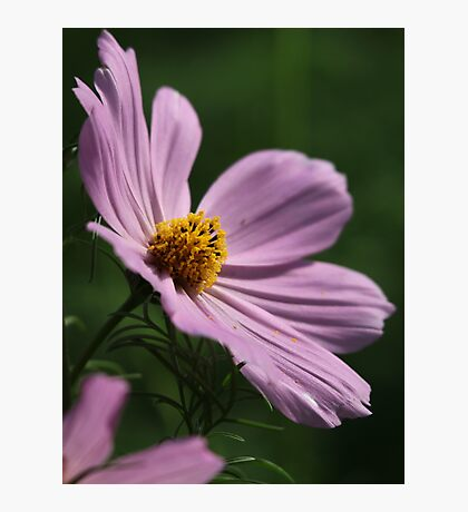 Cosmos 7160 Photographic Print