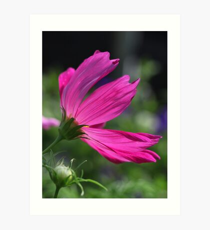 Cosmos Flower 7166 Art Print