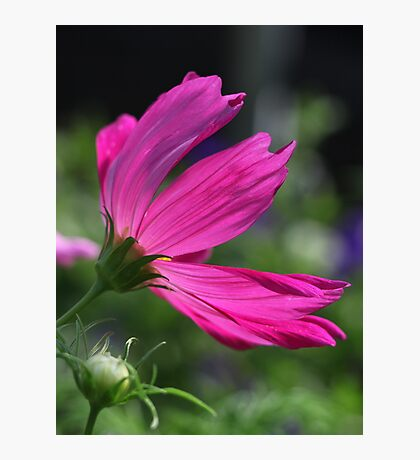 Cosmos Flower 7166 Photographic Print