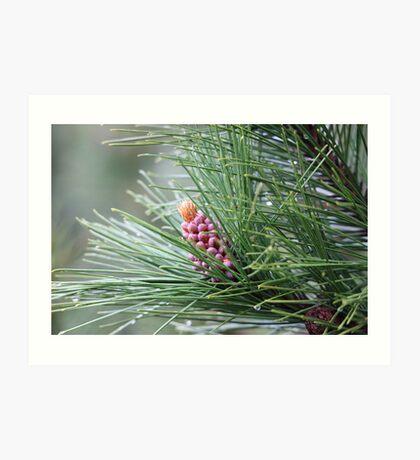Pine Cone 3075 Art Print