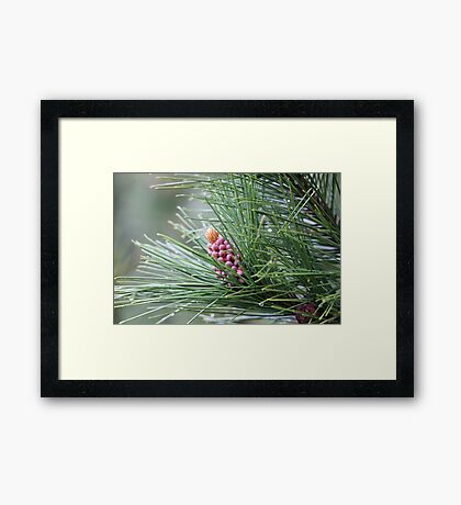 Pine Cone 3075 Framed Print