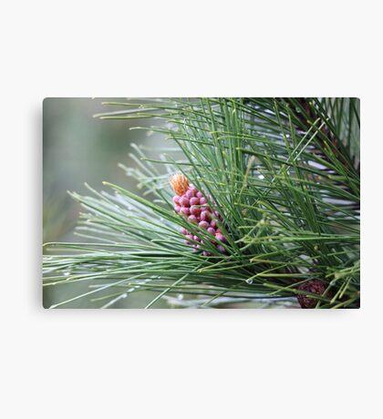 Pine Cone 3075 Canvas Print
