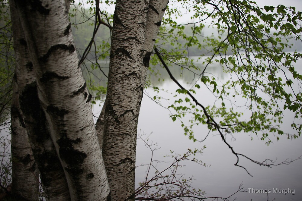 Birch Tree Waterscape 3229  by Thomas Murphy
