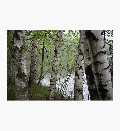 Birch Tree Waterscape 3228 Photographic Print