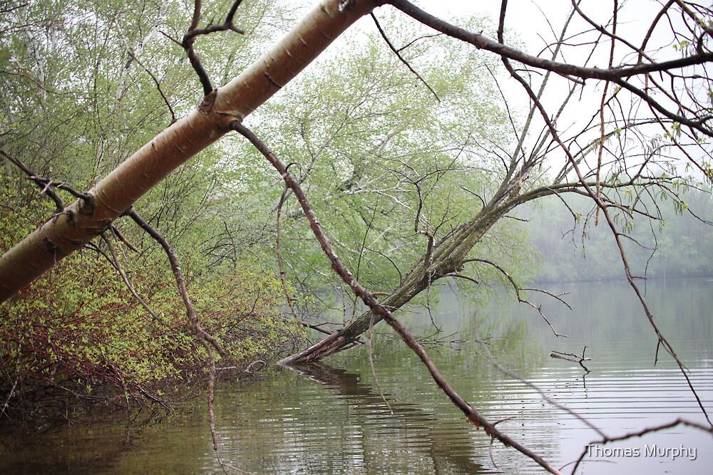 Birch Tree Waterscape 3203 by Thomas Murphy
