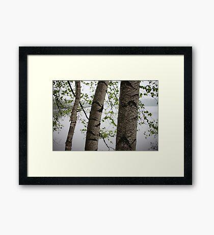 One Two Three Birch Tree 3238 Framed Print