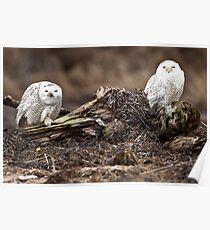 Snowy Owl Pair Poster