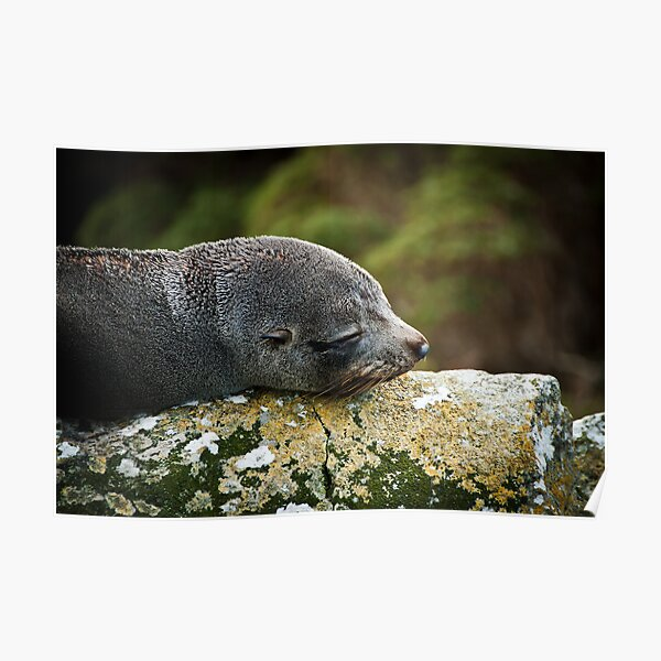 Seal Snooze Poster
