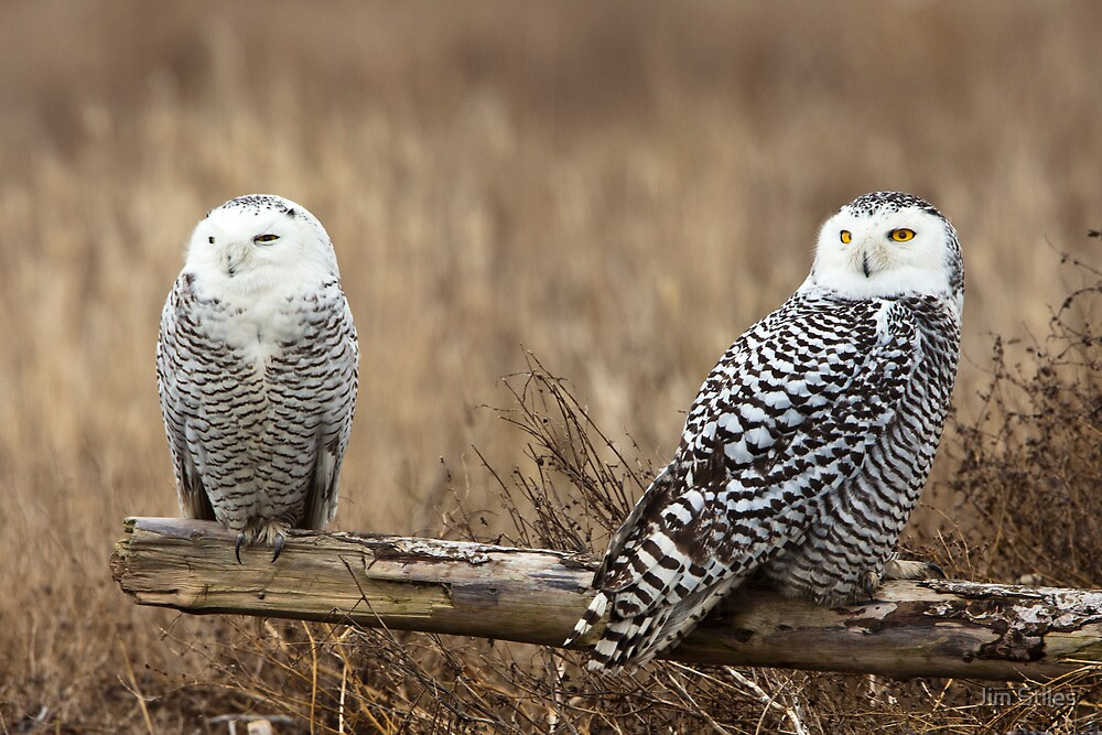 Snowy Owl Pair by Jim Stiles