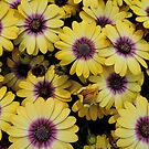 Osteospermum 'Serenity Blue Eyed Beauty' by Marilyn Harris