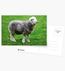 Herdwick, the cutest there is! Postcards