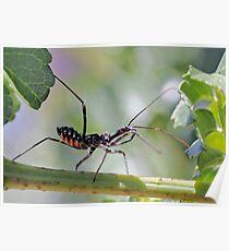 Metalic Assassin Bug - Family Reduviidae Poster 95153c24b7e56
