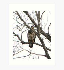 immature bald eagle Art Print
