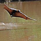 Grey Headed Flying Fox Drinking by Hugh Coleman