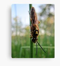 wasp trying to warm up Canvas Print