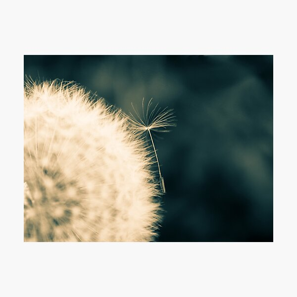 Dandelion flower head Photographic Print