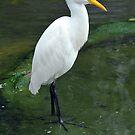 Egret - Singapore. (2) by Ralph de Zilva