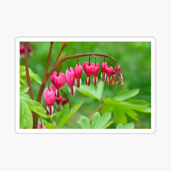 Bleeding heart flower Sticker
