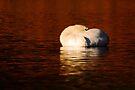 Resting Mute Swan by Neil Bygrave (NATURELENS)
