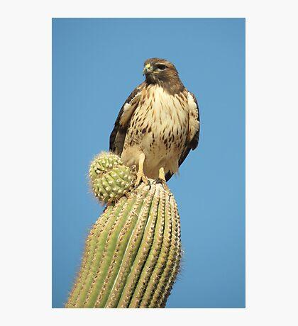 Red-tailed Hawk ~ Saguaro Sitting Photographic Print