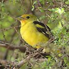 Western Tanager ~ Non-breeding Male by Kimberly Chadwick
