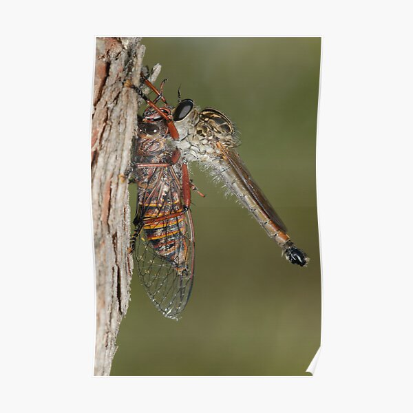 Robberfly With Prey Poster