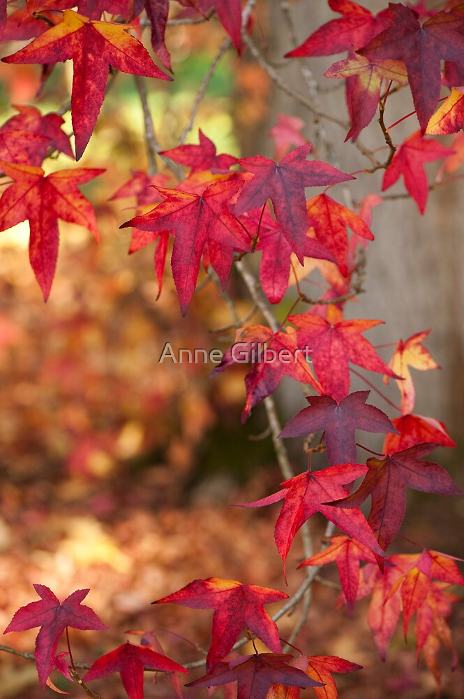 Liquidambar by Anne Gilbert