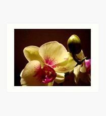 ORCHID - phalaenopsis II   ^ Art Print