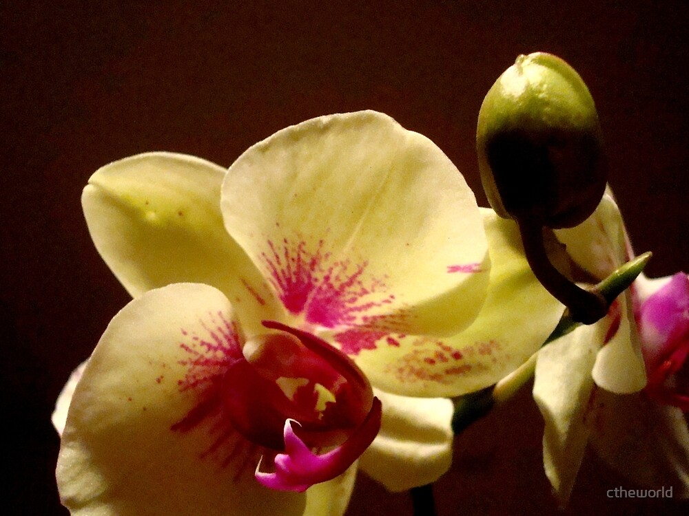 ORCHID - phalaenopsis II   ^ by ctheworld
