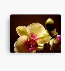 ORCHID - phalaenopsis II   ^ Canvas Print