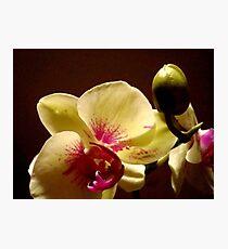 ORCHID - phalaenopsis II   ^ Photographic Print