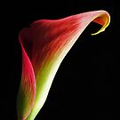 Calla Lily by Robin Black