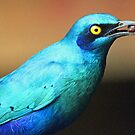 Greater blue -eared starling with food by Anthony Goldman