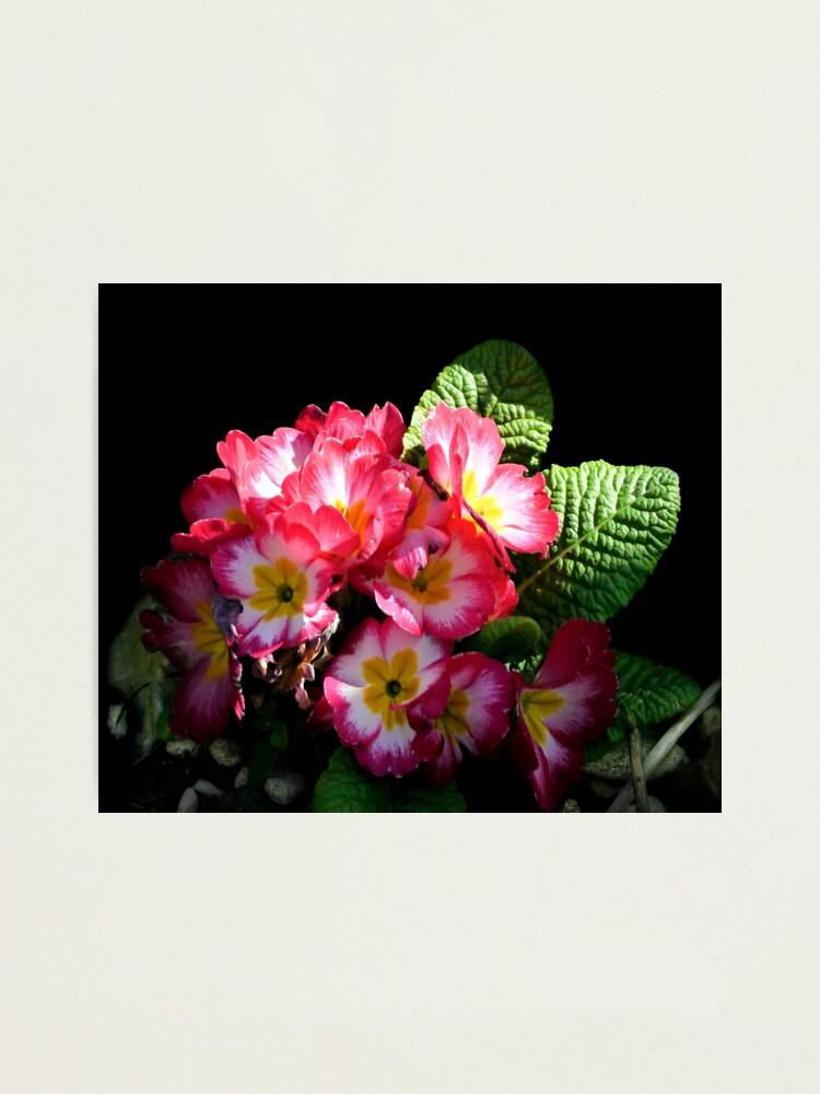 Alternate view of Primrose Photographic Print