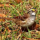 White-throated Sparrow by Janice Carter
