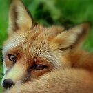A foxy look by Alan Mattison