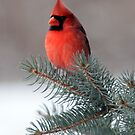 Male Northern Cardinal by Renee Blake