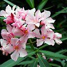 New Year Oleander  by kirkgunn