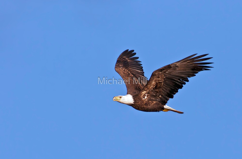Bald Eagle Flying by Michael Mill