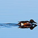 Northern Shoveler by Michael Mill