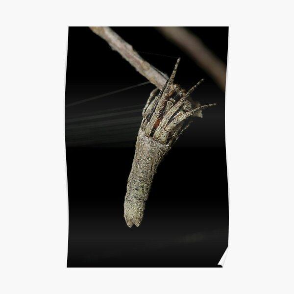 Orb weaver - Heurodes sp. Poster