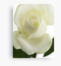 White Rose in Portrait Canvas Print