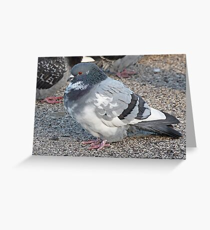 White and Black Pigeon with Grey Area 3696 Greeting Card