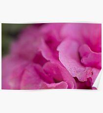 Pink Rose & Ash Poster