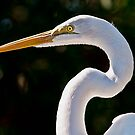 Portrait of a Great White Egret by MKWhite