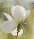winter rose by Teresa Pople