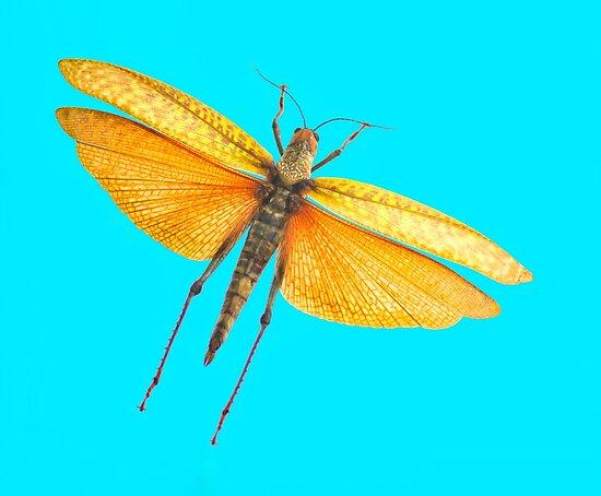 Locust Blue