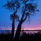 Arbutus Tree at Sunrise by Tracy Riddell