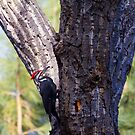 Pileated woodpecker in January by amontanaview