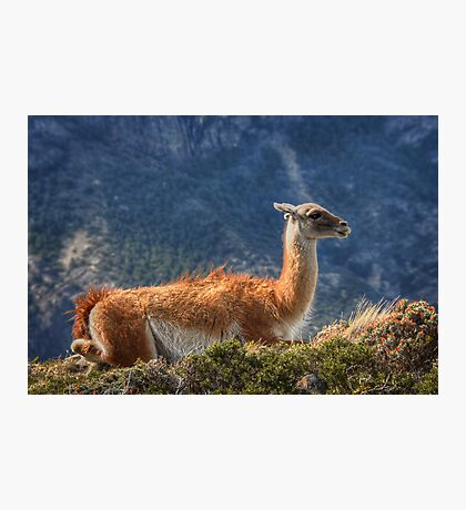 Guanaco Photographic Print
